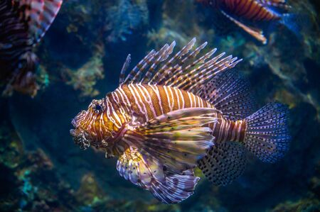 miles lionfish Swimming in coral under the sea Stok Fotoğraf