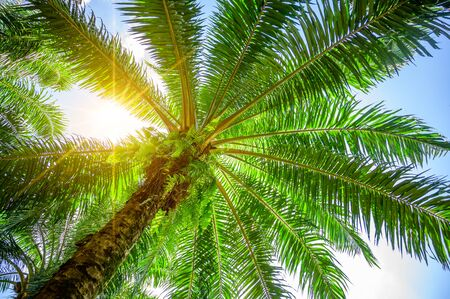Palm tree Palm Oil Green leafy bushes with the suns rays shining.