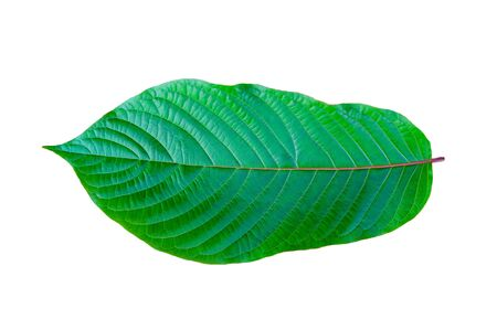 Kratom (Mitragyna speciosa) green Is a type of drug Stock Photo