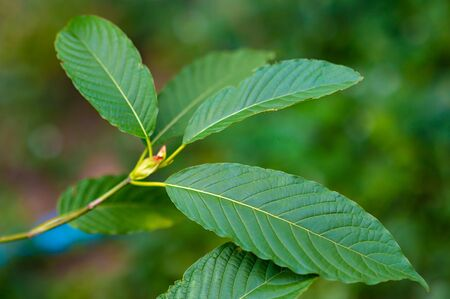 Kratom (Mitragyna speciosa) green Is a type of drug