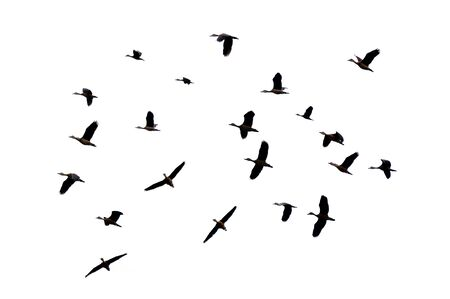 A group of birds flying on a white background Isolate