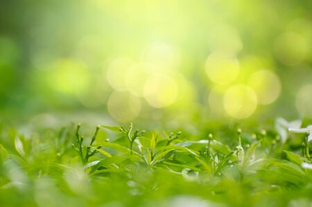 Leaf background bokeh blur green background 版權商用圖片 - 147829941