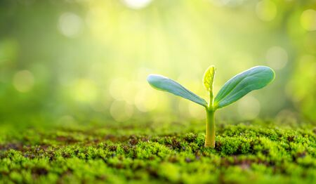 Planting seedlings young plant in the morning light on nature background 版權商用圖片 - 150243326