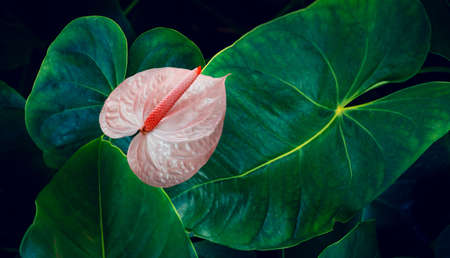 Anthurium in the natural background has a lush green color. tropical leaves colorful flower on dark tropical foliage nature background dark green foliage nature 版權商用圖片
