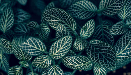 Fittonia albivenis Background White stripes leaf background blue background 版權商用圖片