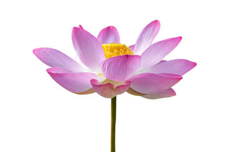 lotus Pink Isolate White flowers bloom