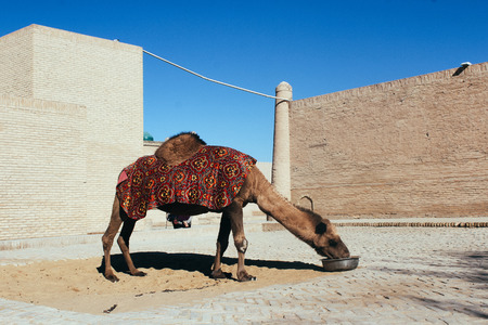 Camel in Uzbekistan drinks water