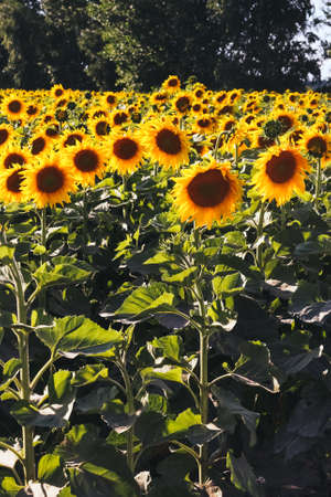 Large field with sunflowers. Yellow sunflowers. background Stock fotó