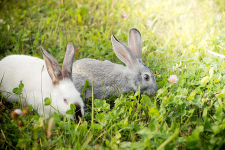 Two rabbits, gray and white. Rabbits eat grass