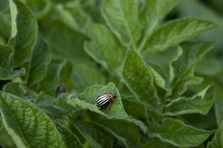 Colorado beetle on a Potato plant. Plant vegetables. Farming concept. High quality photo Stock Photo
