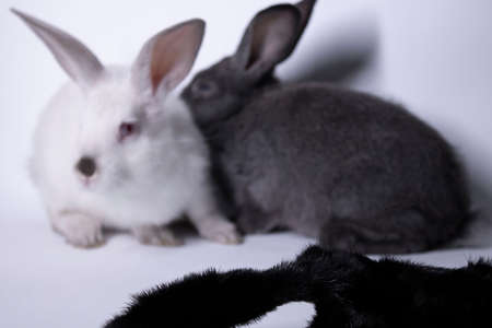 gray and white rabbits-bunnies scared near a natural woolen black coat. copy space. Save animals concept. High quality photo