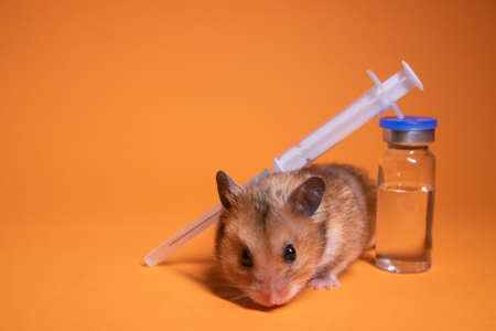 brown hamster - mouse near medical syringe with a needle and bottle-phial isolated on orange background. medical experiments, tests on mice. veterinary. vaccine development. copy space