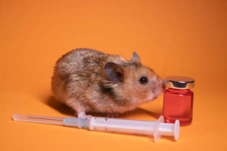brown hamster - mouse near medical syringe with a needle and bottle-phial isolated on orange background. medical experiments, tests on mice. veterinary. vaccine development. copy space Banque d'images