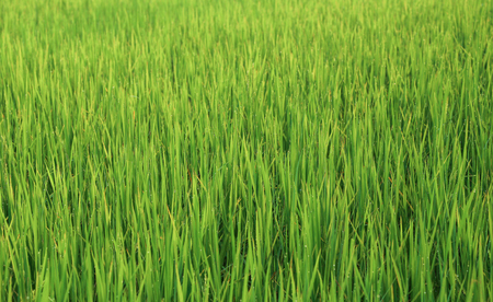 filed: Rice filed Stock Photo