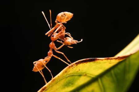 lift and carry: Ant lifting ant on leaf Stock Photo
