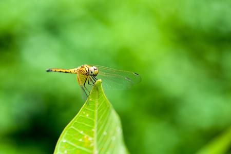 damsels: yellow dragonfly on the leaf