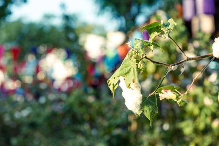 bolls: Close up of Ripe cotton bolls on branch