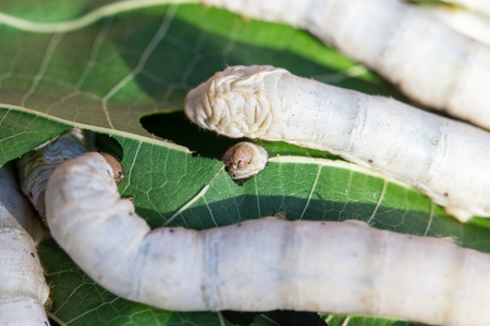 sericulture: Close up Silkworm eating mulberry green leaf