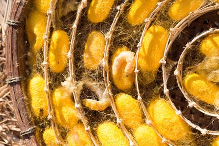 capullo: gusanos de seda en el capullo de color amarillo,, ciclo de vida del gusano de seda.