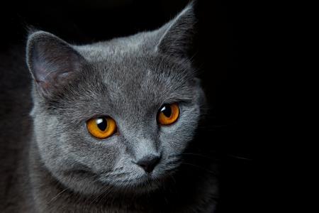 Cat portrait on black