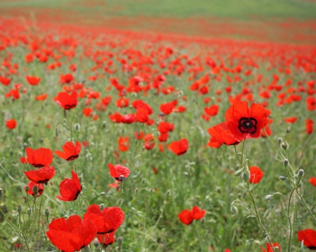 beautiful poppy field  summer flowers Stock Photo