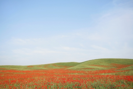beautiful poppy field  summer flowers Stock Photo