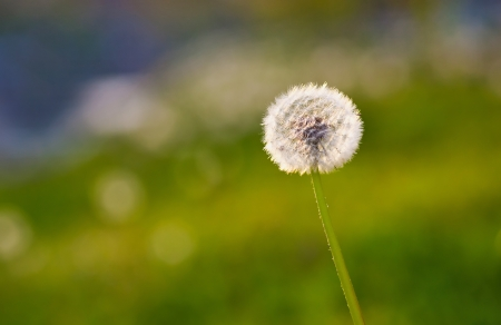 dandelion on blurred green background