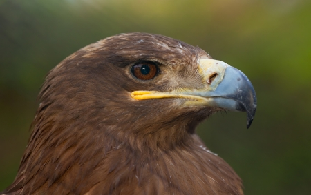 Brown eagle portrait close-up