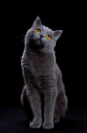 cat looking up on a black background Stock Photo
