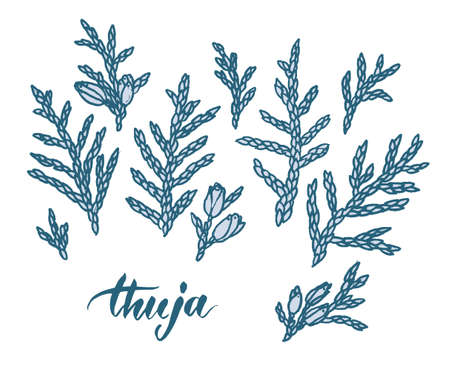 Hand drawn thuja branches. Line drawing, sketch. Vector illustration.