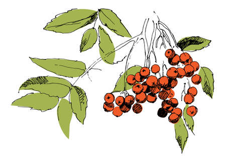 Picture of Rowan bunch on white background. Vector illustration.