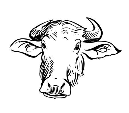 Vector drawing of a Yak. Portrait of a Nepalese Yak. Vector hand drawn illustration on white background.