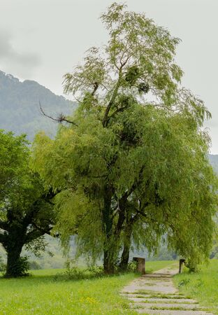 Beautiful willow tree with the nest, National parc Sutjeska