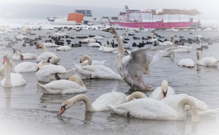 not ready: Beautiful swan in the frozen river Danube at -15C (in the small not frozen part) in winter season, ready for fly