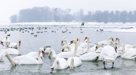 lido: Beautiful swans and ducks swim in the frozen river Danube at -15C (in the small not frozen part) in winter season  Stock Photo