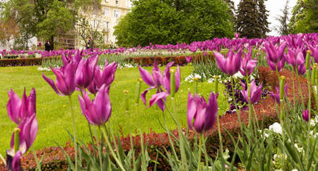 Many pink tulips, violet and white various flowers in park, Belgrade, Serbia