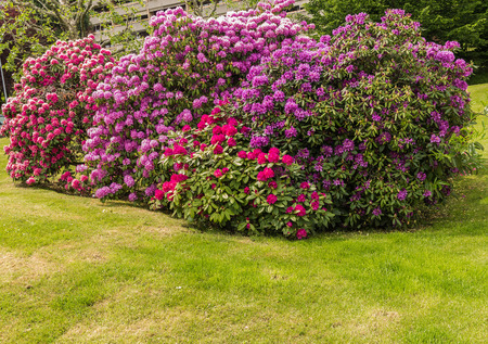Rhododendron garden in neighborhood. District Ecublens, Lausanne Switzerland