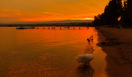 mol: Sunset with the fantastic color over the lake Leman with beautiful swan and ducks. Lausanne Switzerland Stock Photo