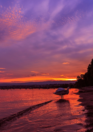 mol: Sunset with the fantastic color over the lake Leman with beautiful swan. Lausanne Switzerland