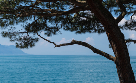 montreux: View on beautiful blue lake Leman and pine tree. City of Montreux, canton Vaud, Switzerland