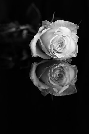 A close up of a single white rose isolated on black background with reflection
