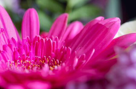 Beautiful pink-violet gerbera flower. Macro photography