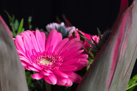Beautiful pink-violet gerbera flower isolated on black background. Macro photography Stock Photo