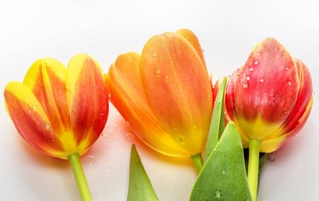 Fresh colorful tulips flowers with the water drops  isolated on white background. Macro photography Stock Photo