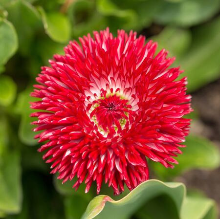 Beautiful head of red flower on the public garden. City of Morges, canton Vaud, Swiss