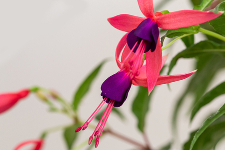 Closeup of fuchsia flower pink and purple hanging stock photo closeup of fuchsia flower pink and purple hanging stock photo 101252918 mightylinksfo