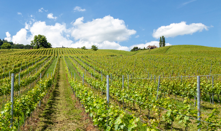 Vineyard in springtime: rows of grapes under a blue sky. Switzerland, canton Vaud Banque d'images