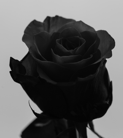 Head Of Beautiful Rose On The White Background. Black and White Photography Stock Photo