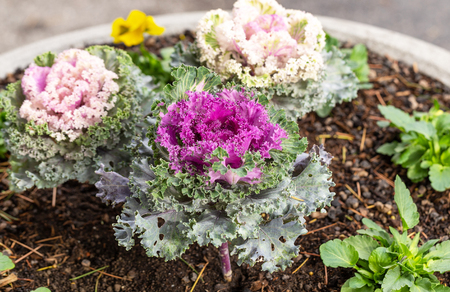 Pink Flowering Or Ornamental Cabbage And Kale With Rain Drops. Top View Background