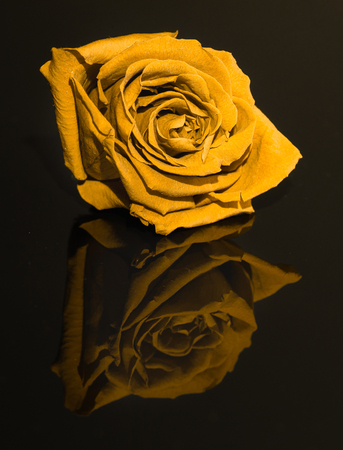Flower head on the black reflected background. Beautiful artificial yellow rose. Low key photography